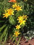 yellowlily