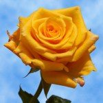 Someone once told me that yellow roses symbolize hope.